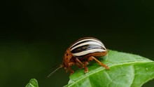 4K False Potato Beetle (Leptin...