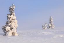 Trees At Pallas - Yllästuntur...