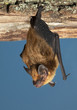 canvas print picture - Big brown bat (Eptesicus fuscus) hanging on a wood, Iowa, USA