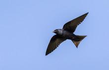 Male Purple Martin (Progne Subis) Flying In Blue Sky, Iowa, USA
