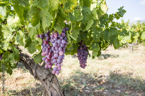 Fotobehang Wijngaard Grapes field, vineyard (Turkey Izmir Vineyard)