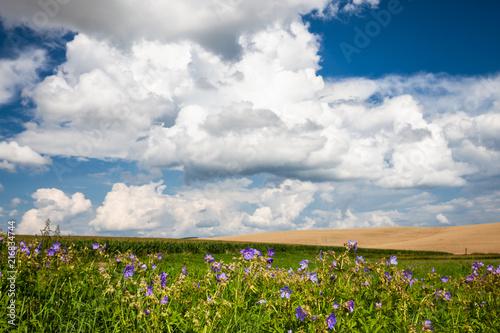 Foto op Aluminium Platteland green corn field and blue sky. Nature summer countryside landscape