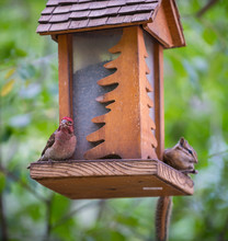 Red Finch And Chipmunk On A Bi...