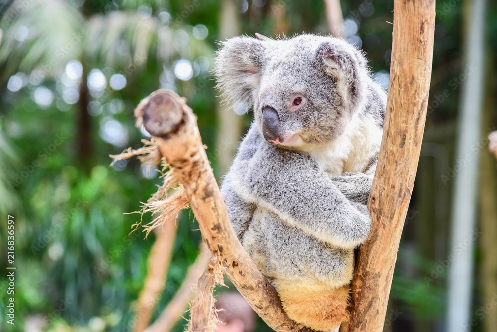 Cute Australian Koala Bear Sitting on a Tree at Featherdale Wildlife Park