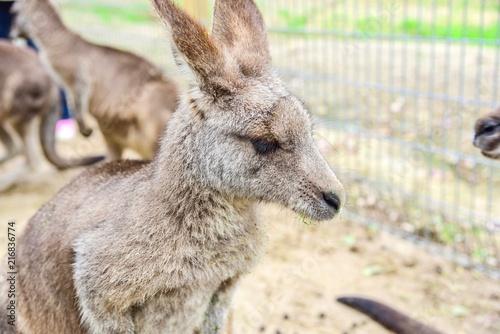 Foto op Plexiglas Kangoeroe Young Australian Kangaroo at Featherdale Wildlife Park