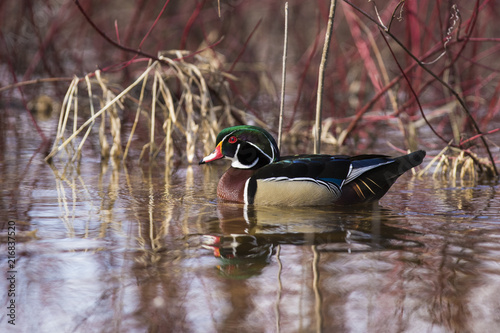 wood duck drake in spring