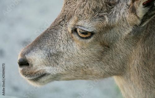 Ritratto di piccola capra Fototapet