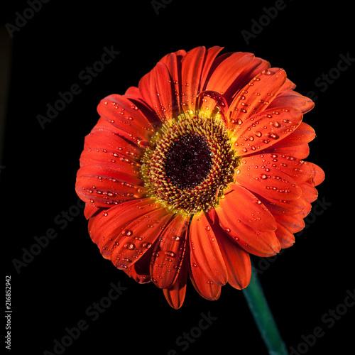 Keuken foto achterwand Gerbera Red gerbera flower.