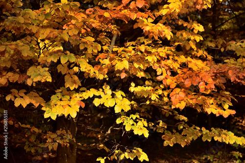 Fotografie, Obraz  Herbstlaub einer Buche
