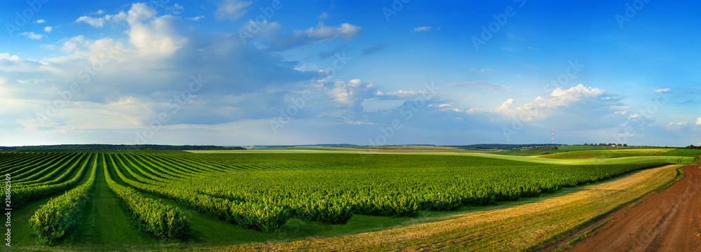 Fototapety, obrazy: fields and rows of currant bush seedlings as a background composition