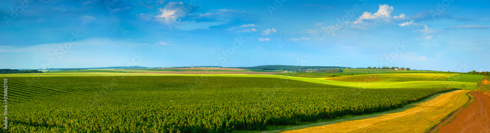 Fototapety, obrazy: panoramic view of black currant plantations and agricultural lands with road