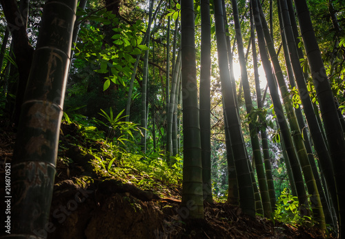 Poster Bambou bamboo forest with morning sunlight