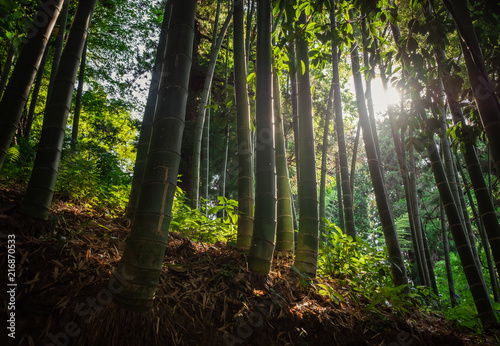 Foto op Plexiglas Bamboe bamboo forest with morning sunlight