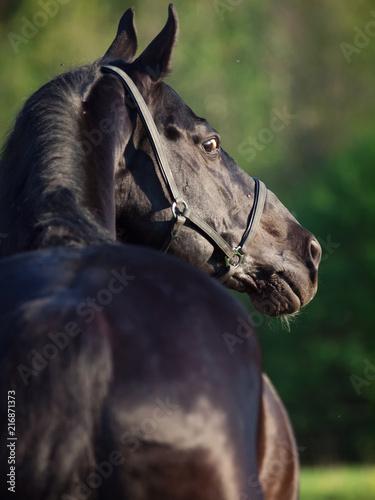 Fototapeta Portrait of  beautiful black breed stallion . back view. summer obraz