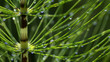Leinwanddruck Bild - Schachtelhalm mit Wassertropfen, Equisetopsida