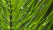canvas print picture Schachtelhalm mit Wassertropfen, Equisetopsida