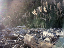 Beach With Cattails And Driftwood With Streaming Sunlight