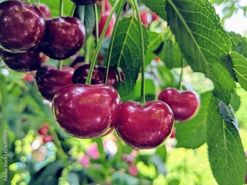 cherry-on-the-tree