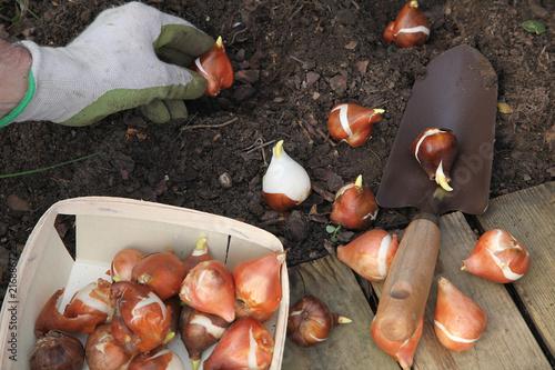 Plantation de bulbes de tulipes