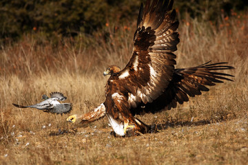 The female of golden eagle (Aquila chrysaetos) is hunting and killing rock pigeons (Columba livia)