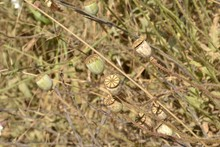 Closeup Photograph Of Wild Poppy Seed Pods In A Field.