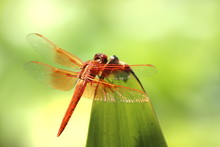 Close Up Of Orange Dragonfly (flame Skimmer) Perched On Plant