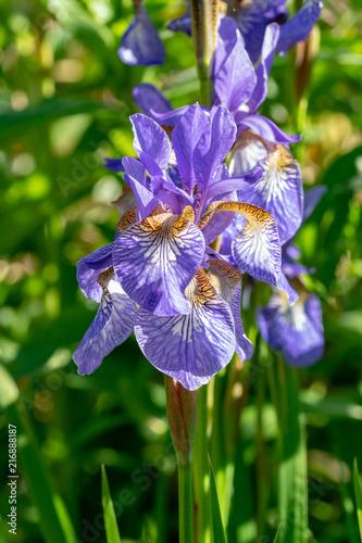 Spoed Foto op Canvas Iris Iris sibirica flower (commonly known as Siberian iris or Siberian flag).