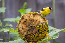 Male Goldfinch (Spinus Tristis...