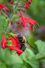 Bumblebee Feeding On Red Salvia Blossoms