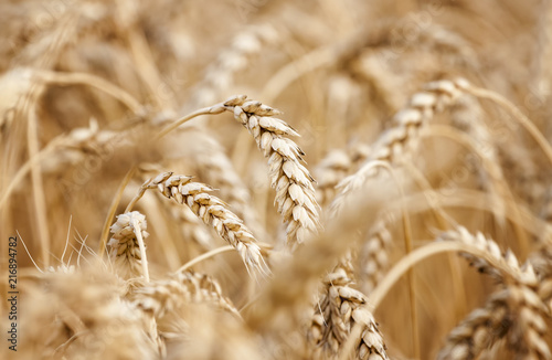 Fototapeta Wheat field. Ears of golden wheat close up. obraz