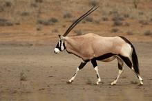 The Gemsbok Or Gemsbuck (Oryx ...