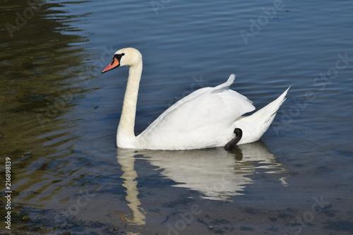 Foto op Plexiglas Zwaan Łabędź Cygnus Swan Schwan Cygne Cigno Cisne лебедь