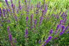 Purple Flowers Of Hyssopus Off...