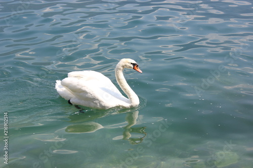 Staande foto Zwaan Swan on Lake Garda, Italy