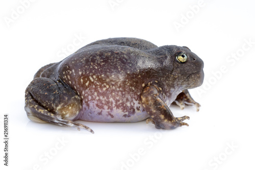 Image of Truncate-snouted burrowing frog or Balloon frog (Glyphoglossus molossus) on white background. Amphibian. Animal.