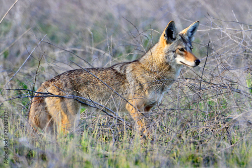 Coyote (Canis latrans) Canvas Print