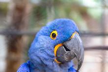 Hyacinthine Macaw Anodorhynchu...