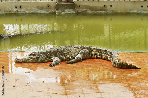 Foto op Plexiglas Krokodil crocodile in Zoo. thailand crocodile. Asia. Freshwater crocodile