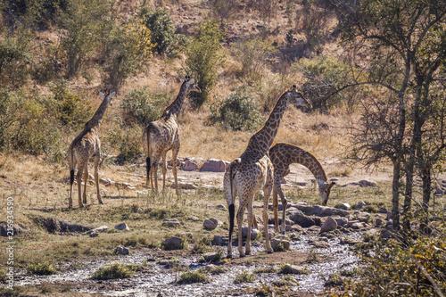 Vászonkép  Giraffe in Kruger National park, South Africa