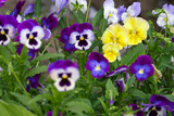 Tricolor pansy flower plant natural background, summer time