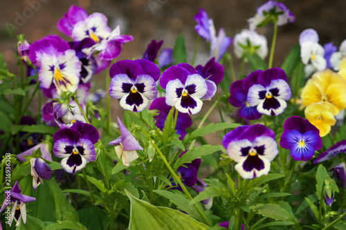 Canvas Prints Pansies Tricolor pansy flower plant natural background, summer time