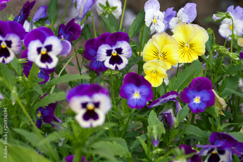 In de dag Pansies Tricolor pansy flower plant natural background, summer time