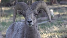 BIGHORN SHEEP (OVIS CANADENSIS).  The California Bighorn Sheep Is At Home In Rugged Mountainous Areas.