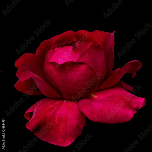 Fotografie, Obraz  Fine art still life colorful low key flower macro of a single isolated blooming