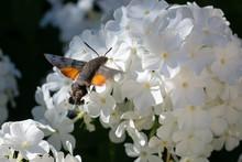 Macroglossum Stellatarum, Hummingbird Hawk-moth Hovering Over A Flower