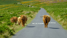 Highland Cattle On Dartmoor Ro...