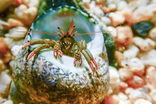 Small Funny Hermit Crab Underwater Close Up.