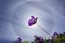Stockholm, Sweden - August 6 2018: Circular Rainbow Around The Sun Which Is Blocked By A Violet Flower. More Flowers And Green Leafs Below.