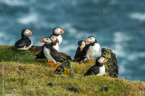 Cuadros en Lienzo  Puffin, Heimaey coast, South Iceland