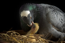 Homing Pigeon Feeding Crop Milk To New Born Bird